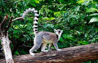 Lémurien Catta dans la réserve d'Anja @ pixabay