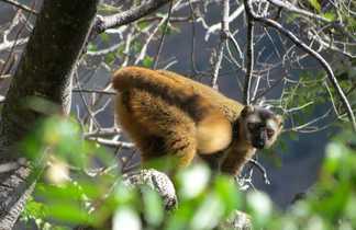 Lémurien Maki Brun dans le Parc national de l'Isalo