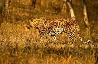 Léopard dans un parc du Madhya Pradesh