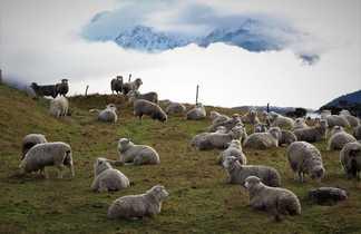 Les moutons de Glenorchy.