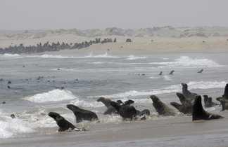 Les otaries à fourrure de Cap Cross sur la côte atlantique namibienne