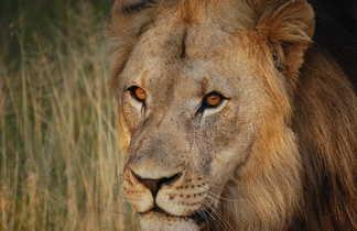 Lion dans la réserve de Mabula en Afrique du Sud
