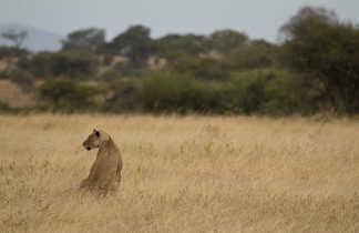 Lion dans la savane en Tanzanie