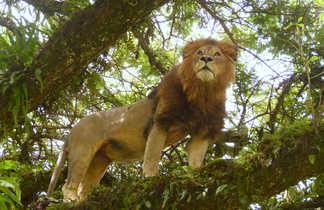 Lion jouissant du point de vue d'un arbre dans le Ngorongoro