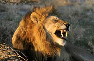 Lion mâle dans le bushways en Tanzanie