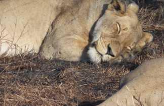 Lionne qui dort