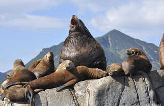 Lions de mer, voyage au Kamchatka