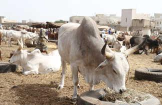 Marché aux zébus au Sénégal