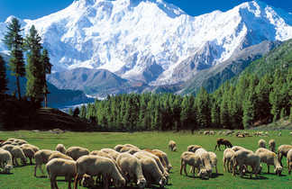 Moutons dans la prairie des fées et vue sur le Nanga Parbat
