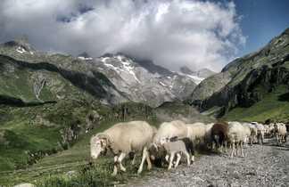 Moutons dans les paturages pyrénéens