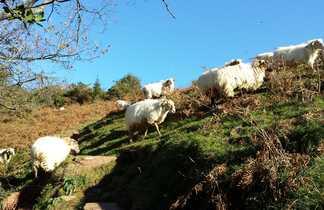 Moutons du pays basque