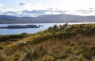 Moutons en Ecosse