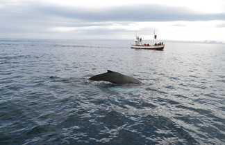 Observation de baleines en Islande, dans la baie de Skjálfandi