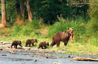 Observation des ours au lac Dvukhyurtochnoe en Russie