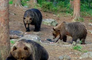 Observation des ours en Finlande