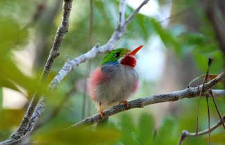Oiseau emblématique de Cuba :  le todier de Cuba