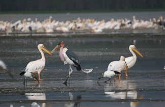 Oiseaux migrateurs au Kenya