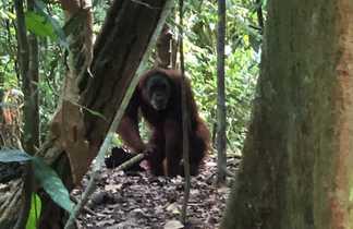 Orang Utan, Parc National de gunung  Leuser, Sumatra, Indonésie
