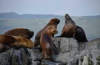 Otaries au repos sur un rocher dans le canal de Beagle, dans la baie d'Ushuaia