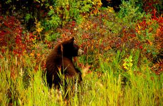 Ours brun, observation animalière au Canada