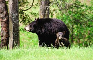 Ours brun, Alaska