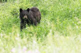 Ours rencontré au cours du voyage au Canada
