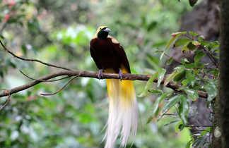 Paradisier ou oiseau du paradis en Papouasie