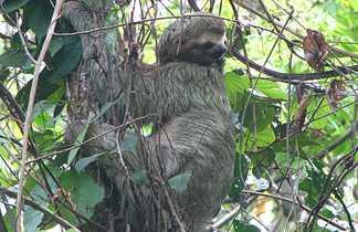 Paresseux dans un arbre au Costa Rica