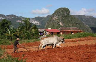 Paysan en train de labourer un champs dans la vallée de Vinalès à Cuba