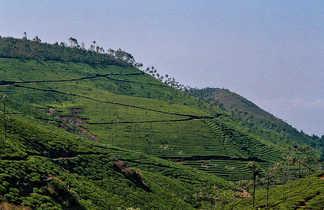 Plantations de thé à Munnar, Kerala