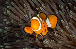 Poisson-clown à trois bandes : un cousin de Nemo ?