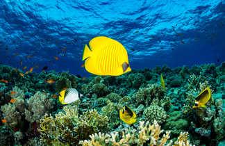Poisson papillon citron et récif de Mer Rouge
