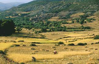 Récolte aux champs, contreforts de l'Atlas, Maroc