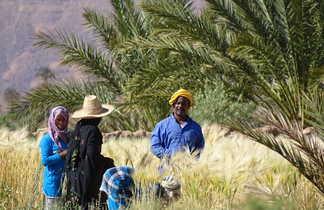 Récolte des dattes, Sud Maroc