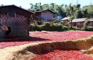 Récolte et séchage des poivrons dans un village en Birmanie
