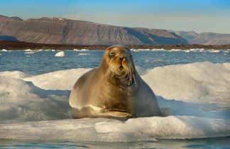 Rencontre avec un phoque barbu au sortir de la sieste au soleil sur un iceberg au Spitzberg