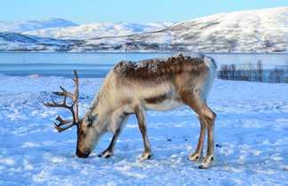 Renne dans la neige en Laponie