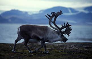 Renne du Svalbard, espèce endémique de l'archipel