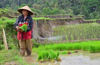 Repiquage de riz en Indonésie