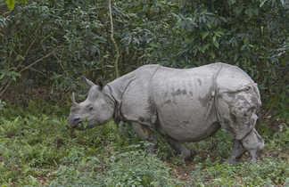 Rhinocéros-dans-le-Parc-National-de-Chitwan-Népal