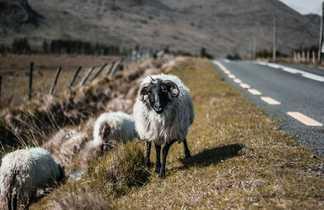 Road trip en Irlande, Moutons