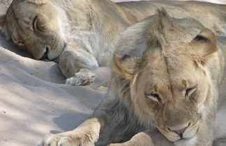 Sieste des lionnes en Afrique du Sud