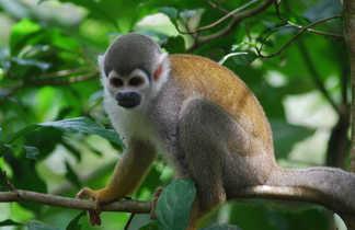 Singe en Amazonie en Equateur
