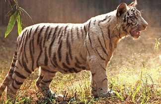 Tigre dans un parc du Madhya Pradesh