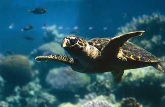 Tortue nageant à Aqaba
