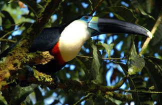 Toucan de la forêt amazonienne d'Equateur