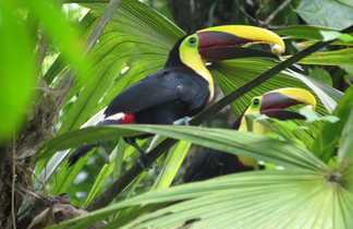 Toucans de Swainson - Costa Rica