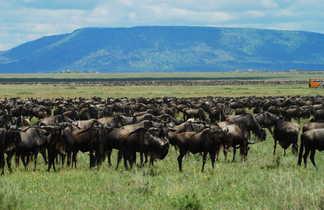 Troupeau de bufles dans le parc du Serengeti en Tanzanie