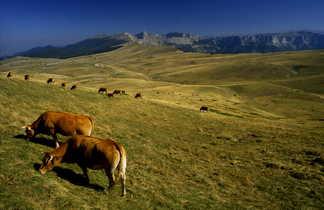 Troupeau sur les plateaux du Vercors, Alpes