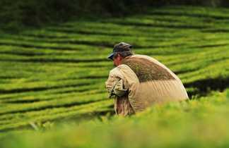 Un agriculteur chargeant sa récolte de thé à Porto Formoso, sur l'île de Sao Miguel, aux Açores